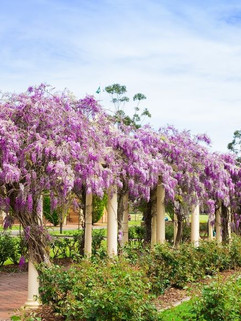 Wisteria_in_Bloom_with_Chapel_ab874eaf8b