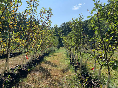 Growing Apple Orchard