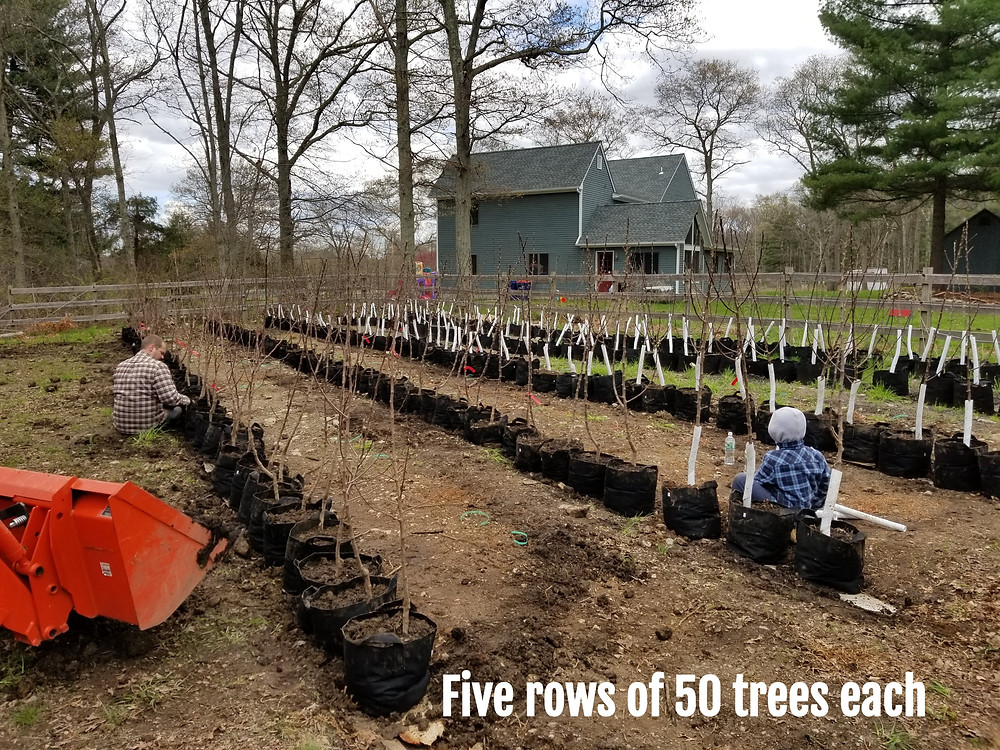 Rows of bare root apple trees