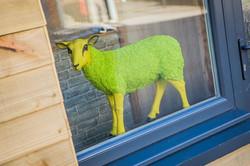 Butty sheep in window