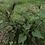 Thumbnail: Bee Plant (Scrophularia californica) 1-Gallon/Tree Pot
