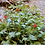 Thumbnail: Scarlet Monkey Flower (Erythranthe cardinalis) 1 gallon potted plant