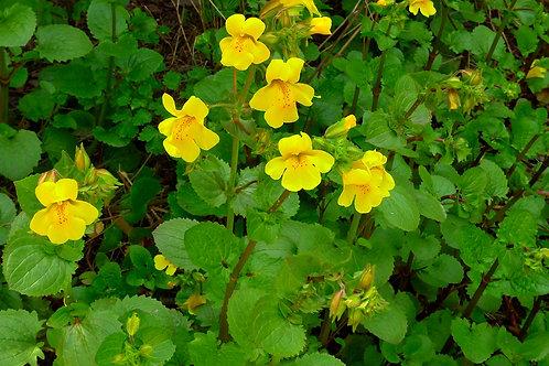 "Seep monkey flower (Erythranthe guttatus) 4"" potted plant"