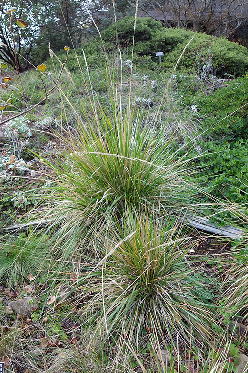 """Pacific Reed Grass (Calamagrostis nutkaensis) 4"""" potted plant"""