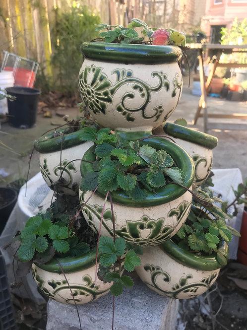 "Woodland Strawberry (Fragaria versa) 4"" potted plant"