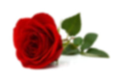 Red rose isolated on white background .j