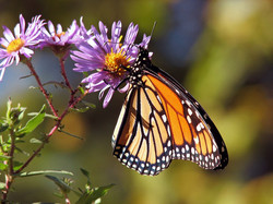 butterfly-17057_960_720.jpg