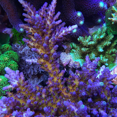 Reef Raft Canada Aussie Gold