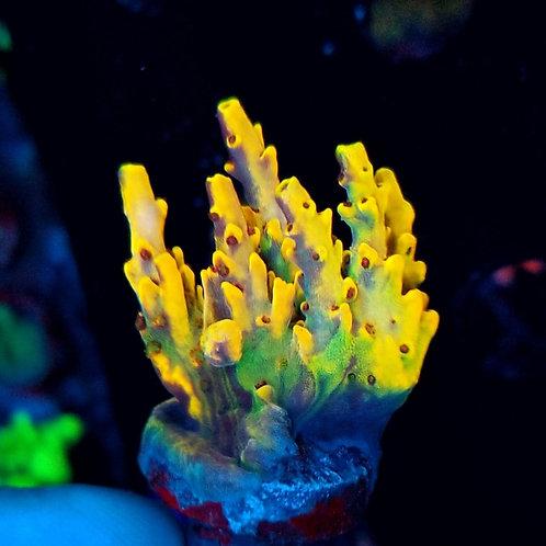 Reef Raft Asia Wolverine
