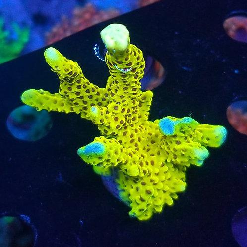 World Wide Corals Slimeball (Megabud)