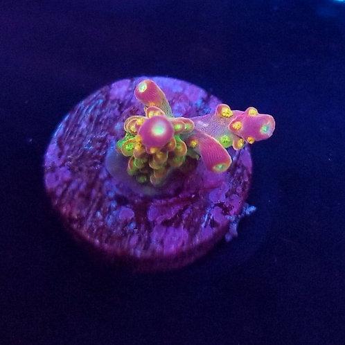 World Wide Corals Orange Peel (Bargain Bud)