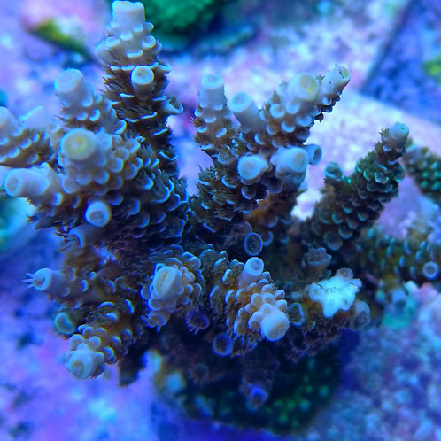 World Wide Corals Dirty Harry