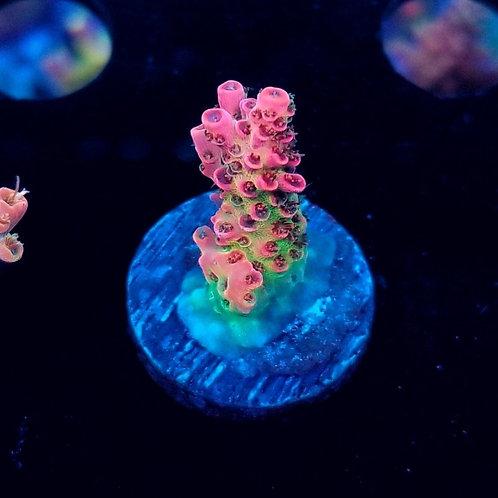 World Wide Corals Jello Shot (Bargain Bud)