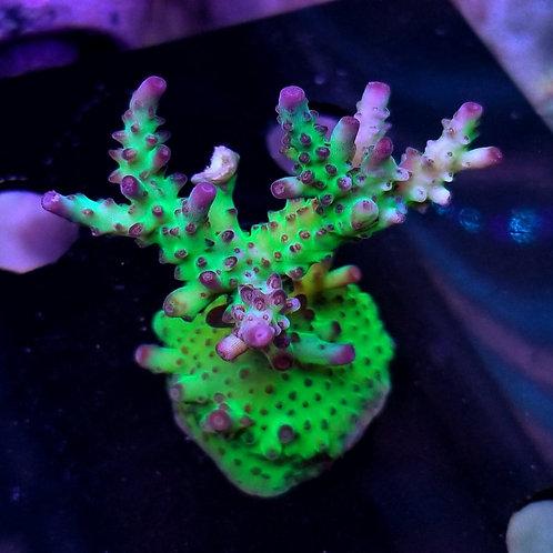 Battle Corals Rainbows in Spain (Megabud)