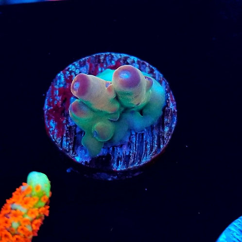Reef Raft USA Dharma (Bargain Bud)