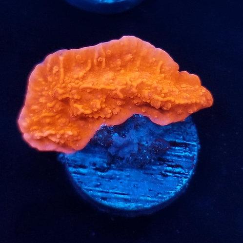 Buds Bright Orange Monti Cap (Bargain Bud)