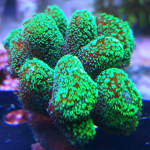 ORA Green Stylophora