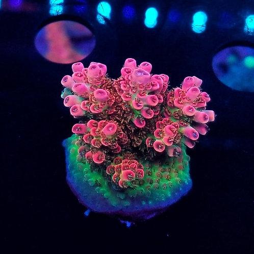 World Wide Corals Jello Shot