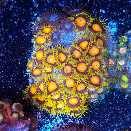 World Wide Corals Dragon Eyes/Fire and Ice Colony