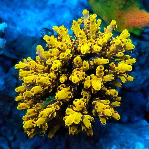 Aqua SD Wolverine