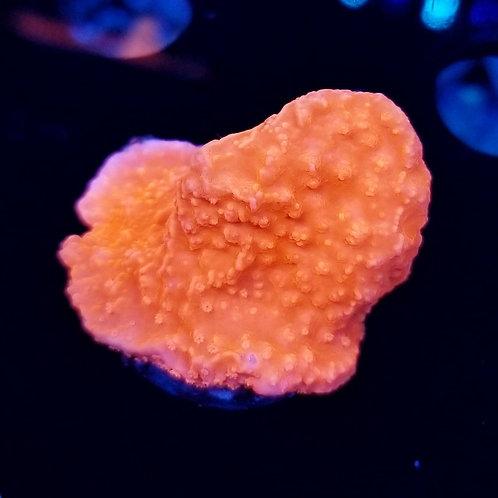 Buds Bright Orange Monti Cap