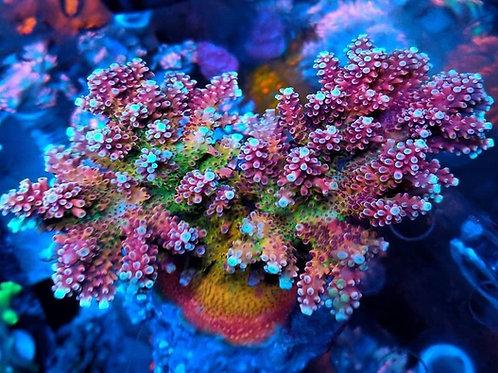 Reef Raft Canada Pink Cadillac