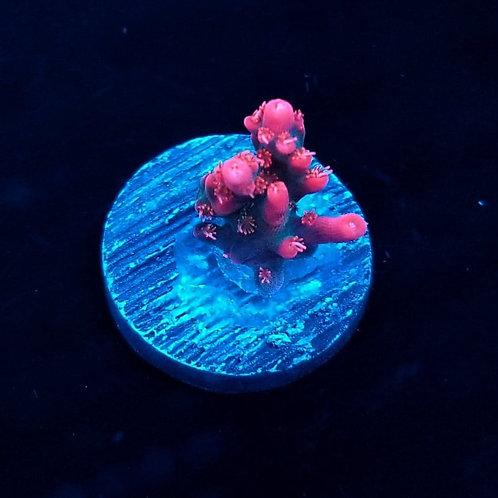 Vivid Confetti (Bargain Bud)