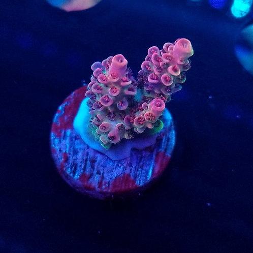 Battle Corals Wild Red (Bargain Bud)