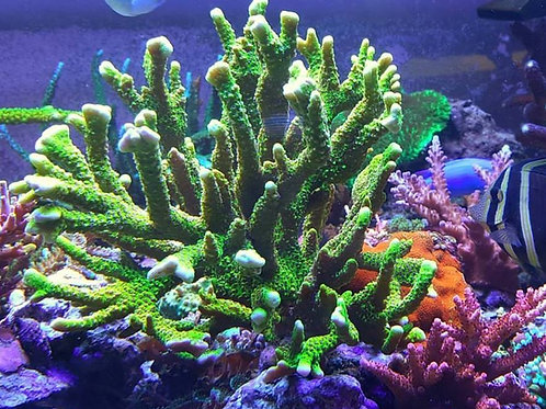 World Wide Corals Slimeball Anacapora