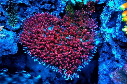 World Wide Corals Heartbreaker