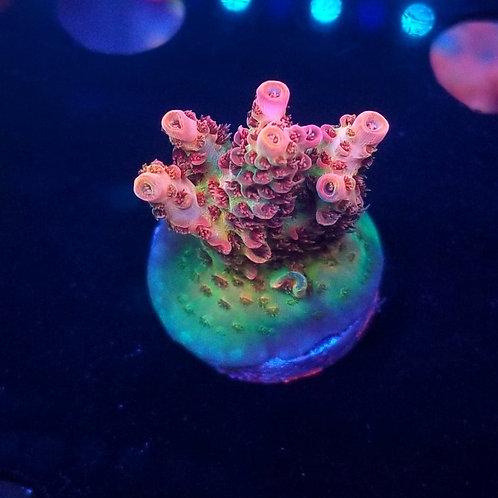 World Wide Corals Heartbreaker (Bargain Bud)