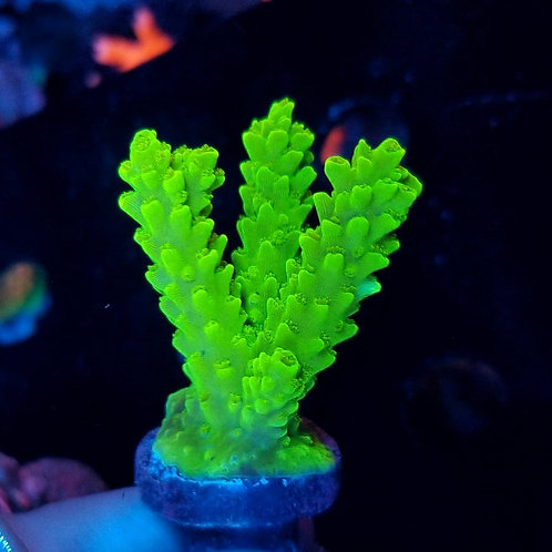 ORA Green Slimer