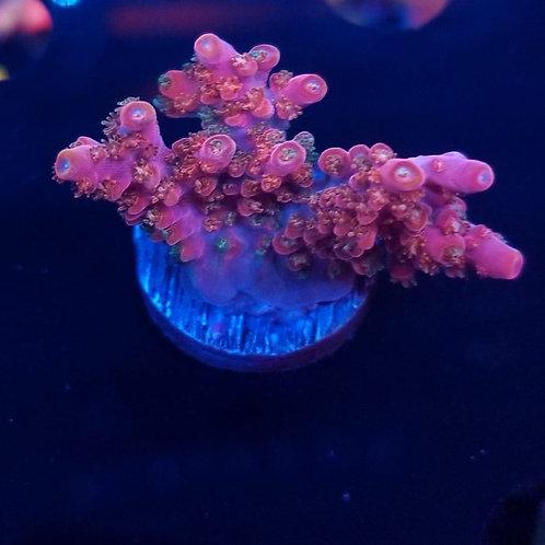 Reef Raft USA Rainbow Loom (Megabud)