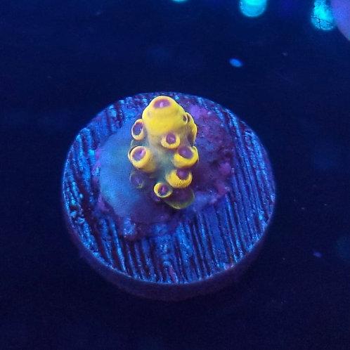 Reef Raft USA Signature Pink Floyd (Bargain Bud)