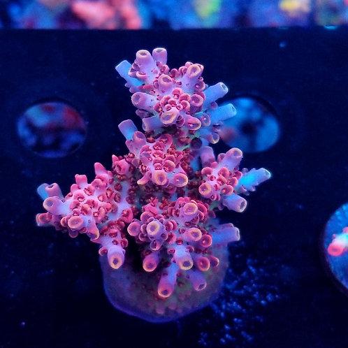 World Wide Corals Heartbreaker (Megabud)