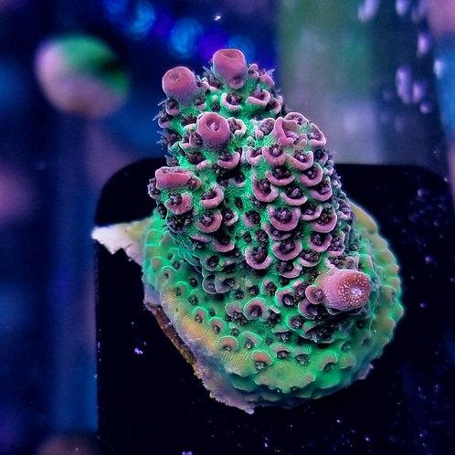 World Wide Corals Rainbow Milli
