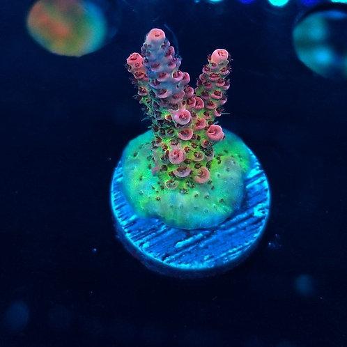 Reef Raft USA Fruitopia