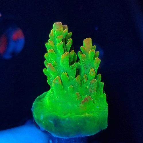 World Wide Corals Orange Peel