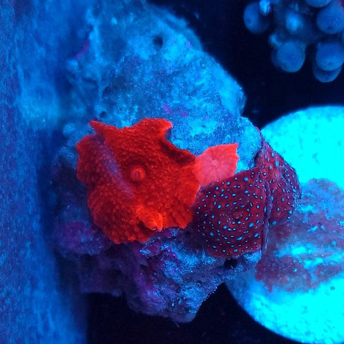 Buds Purple Haze/Red Mushroom Rock