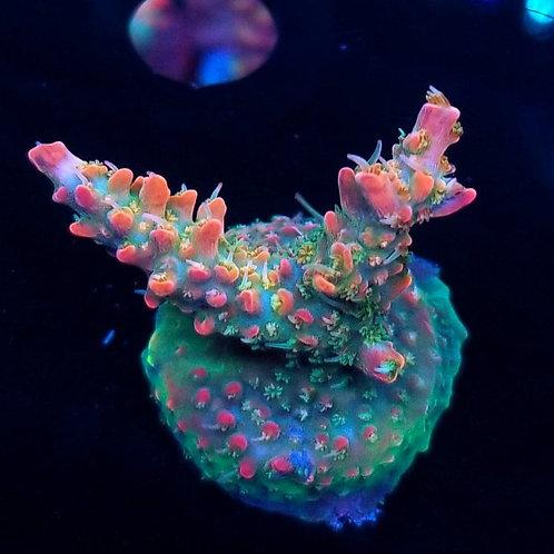 Cherry Corals Voodoo Majick