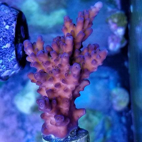 Reef Raft Canada Aussie Gold(Megabud)