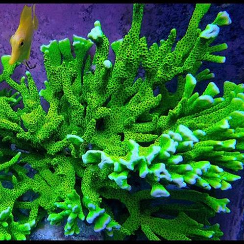 World Wide Corals Slimeball Anacapora