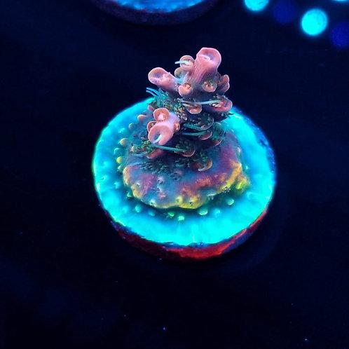 Cherry Corals Voodoo Majick(Bargain Bud)
