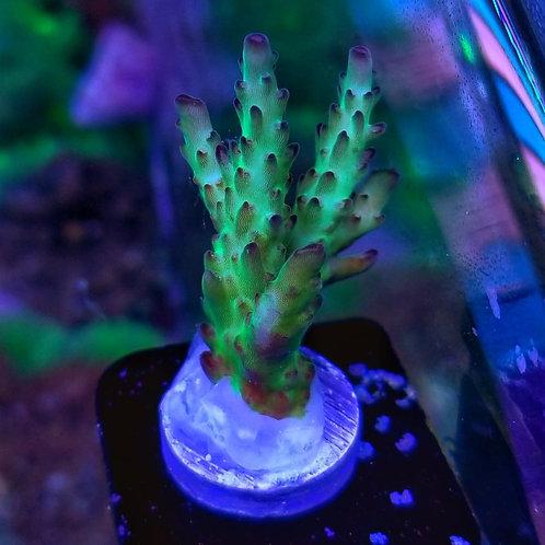 World Wide Corals Death Widow (Megabud)