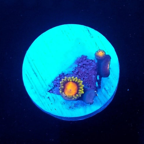 World Wide Corals Dragon Eyes