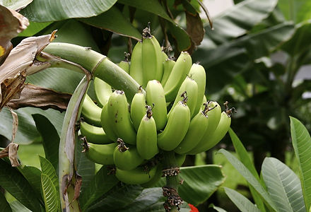 plantain-fruit.jpg