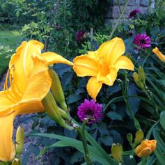 Dagliljor och dahlior