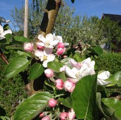 Äppelblom James Grieve