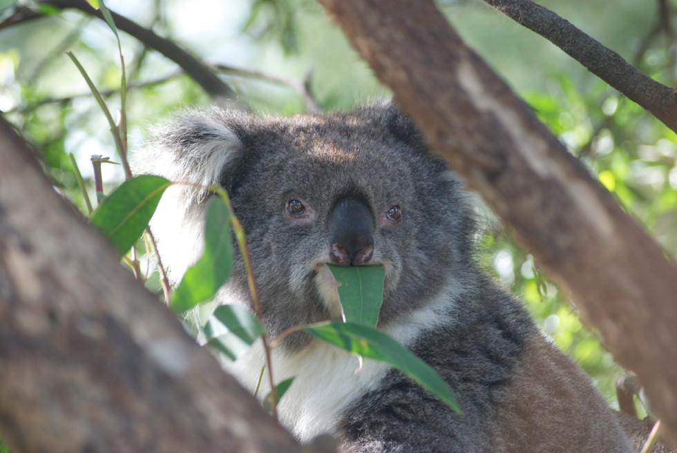 Koala having a feast! Great Ocean Road, Victoria.