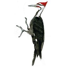 Woodpecker.sq.jpg